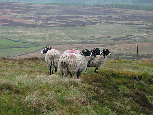 yorkshire-sheep-1